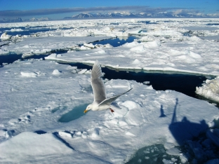 Lód morski u południowych wybrzeży Spitsbergenu. Fot. J. Małecki