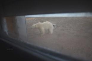 Niedźwiedź puka do wrót Stacji Polarnej UAM
